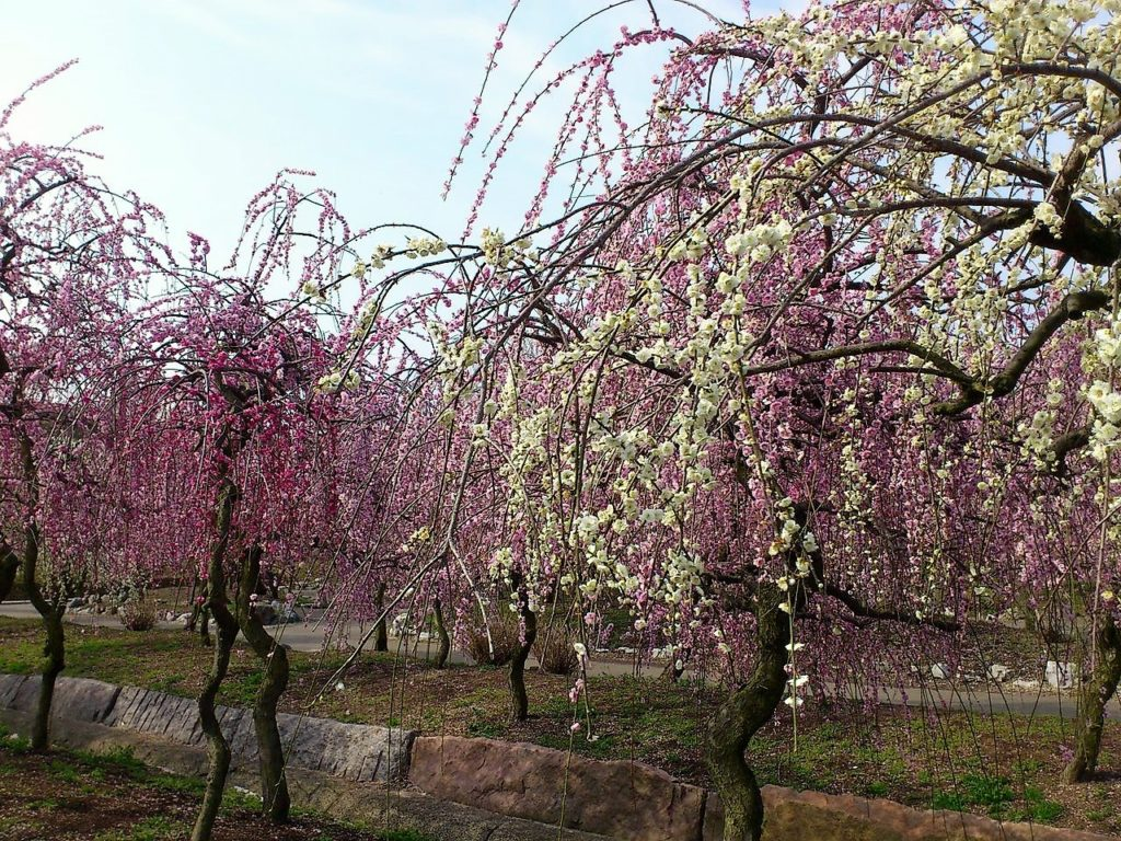 梅林公園の紅梅と白梅