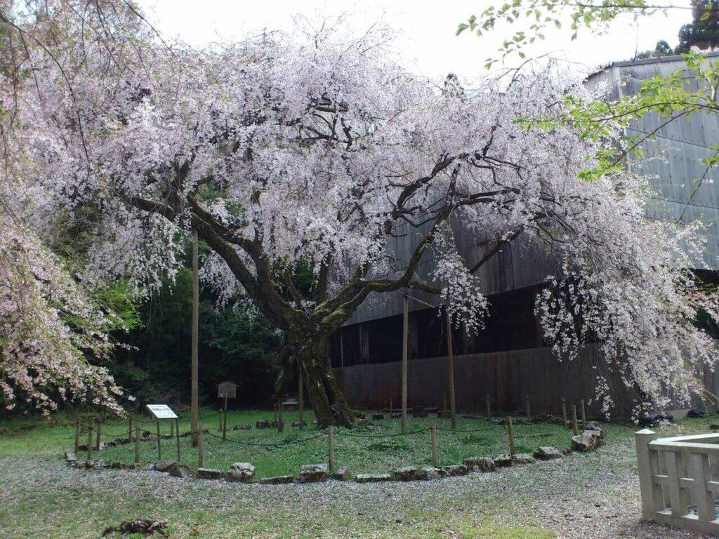 井伊神社のしだれ桜