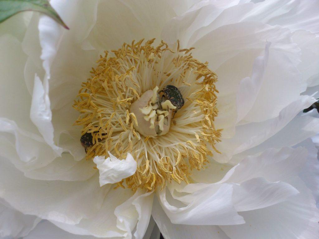 白い牡丹の中で休憩する虫