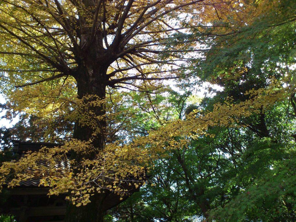 聖宝寺の巨大な銀杏の木