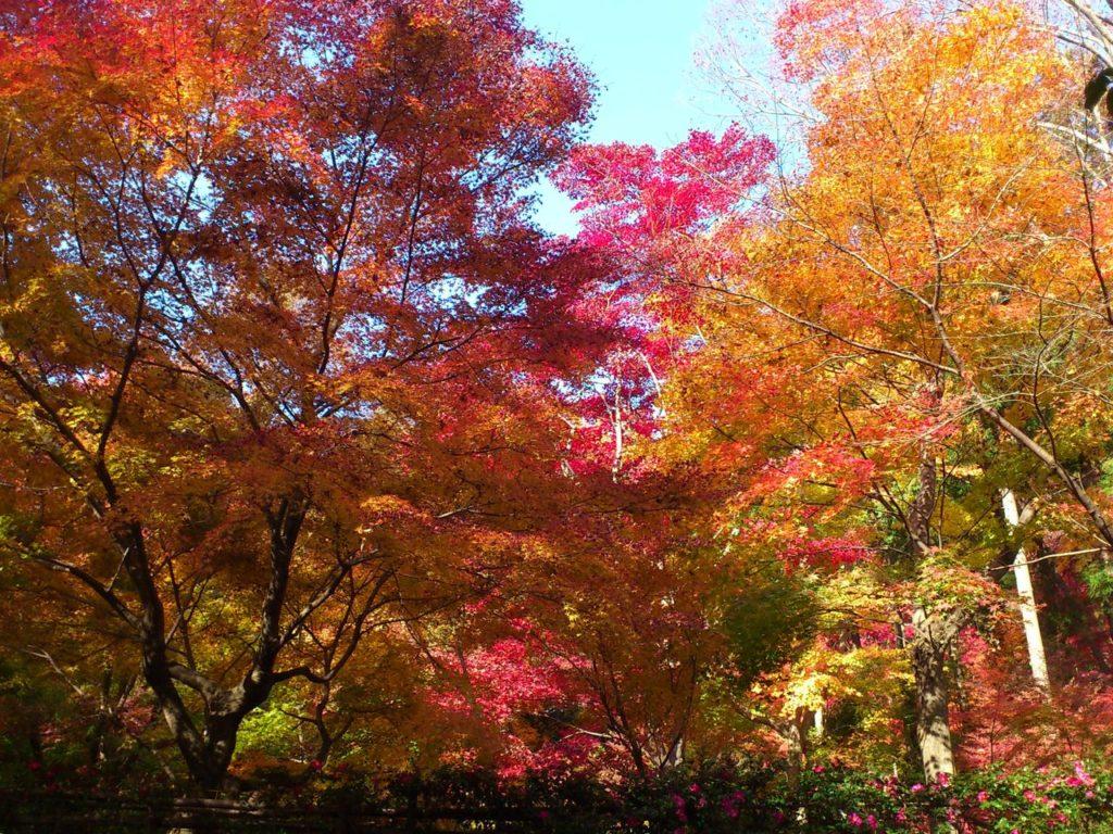 教林坊の参道を彩る赤やオレンジ色のモミジ