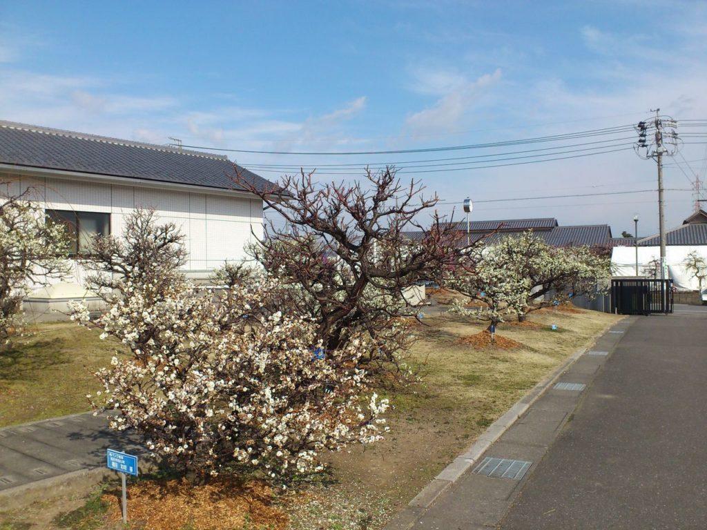安八浄化センターの梅の木