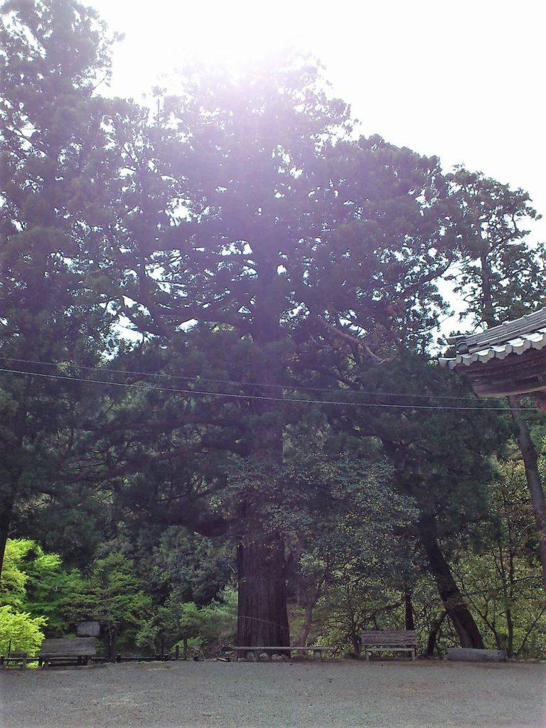 大瀧神社のご神木スギ