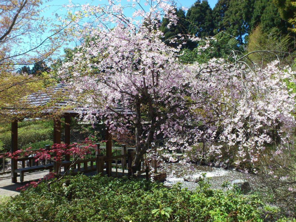 あずま屋の横の桜