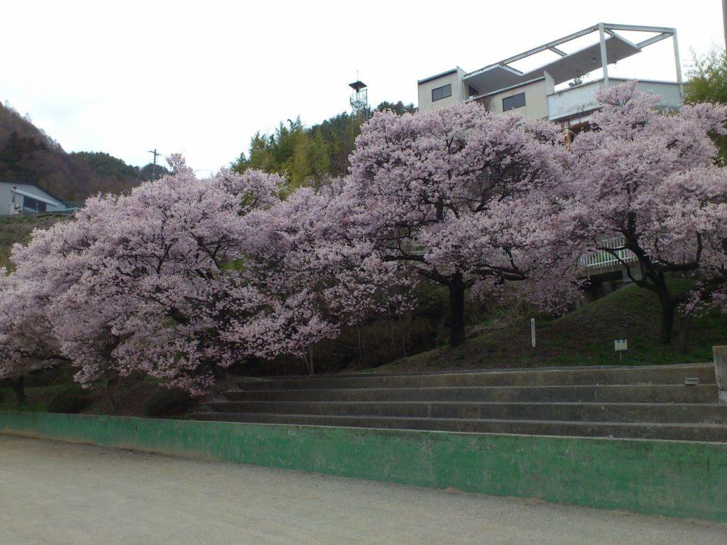 高遠スポーツ公園の桜