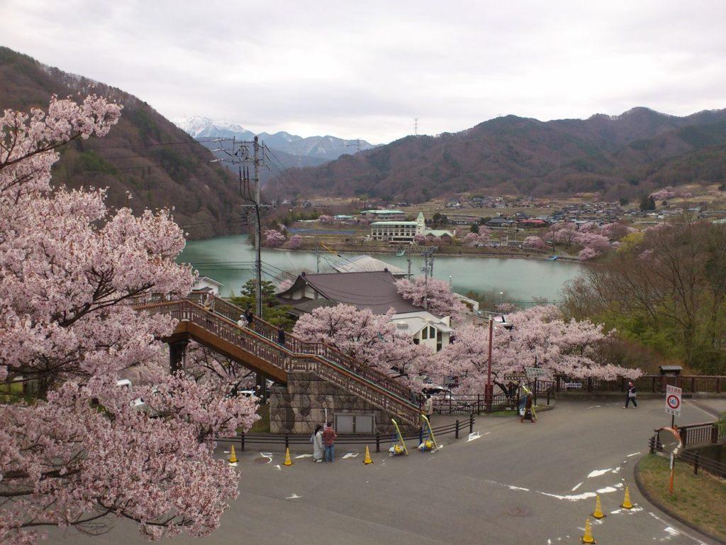 桜のトンネルから