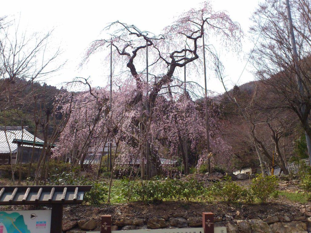 徳源院の道誉桜 2代目