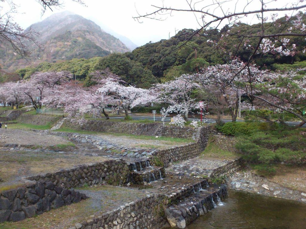 養老公園の河岸からの桜