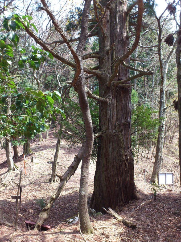 西坂参詣道の一本杉
