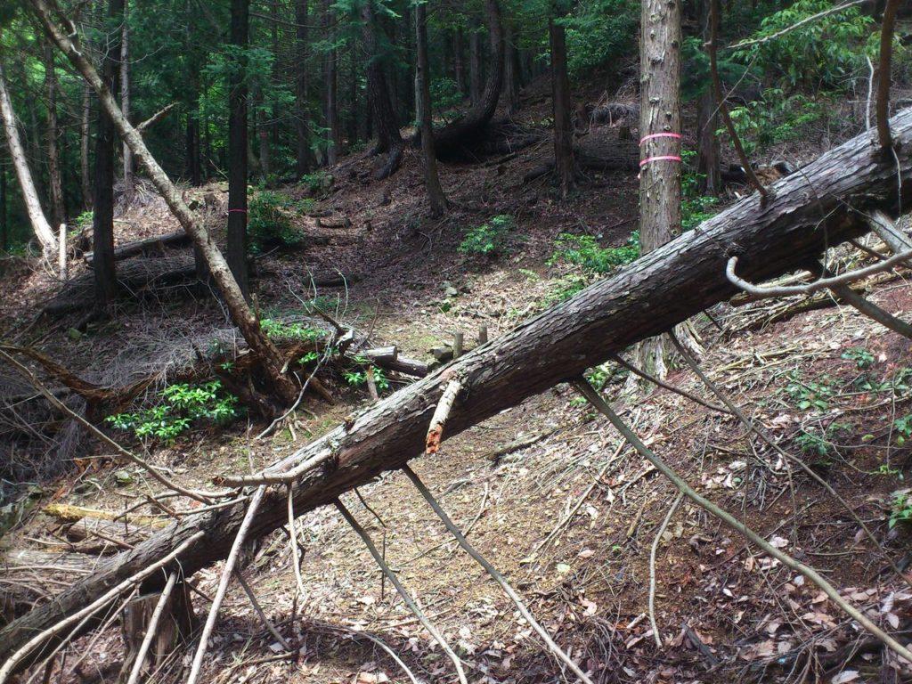 枝が張ったままの倒木