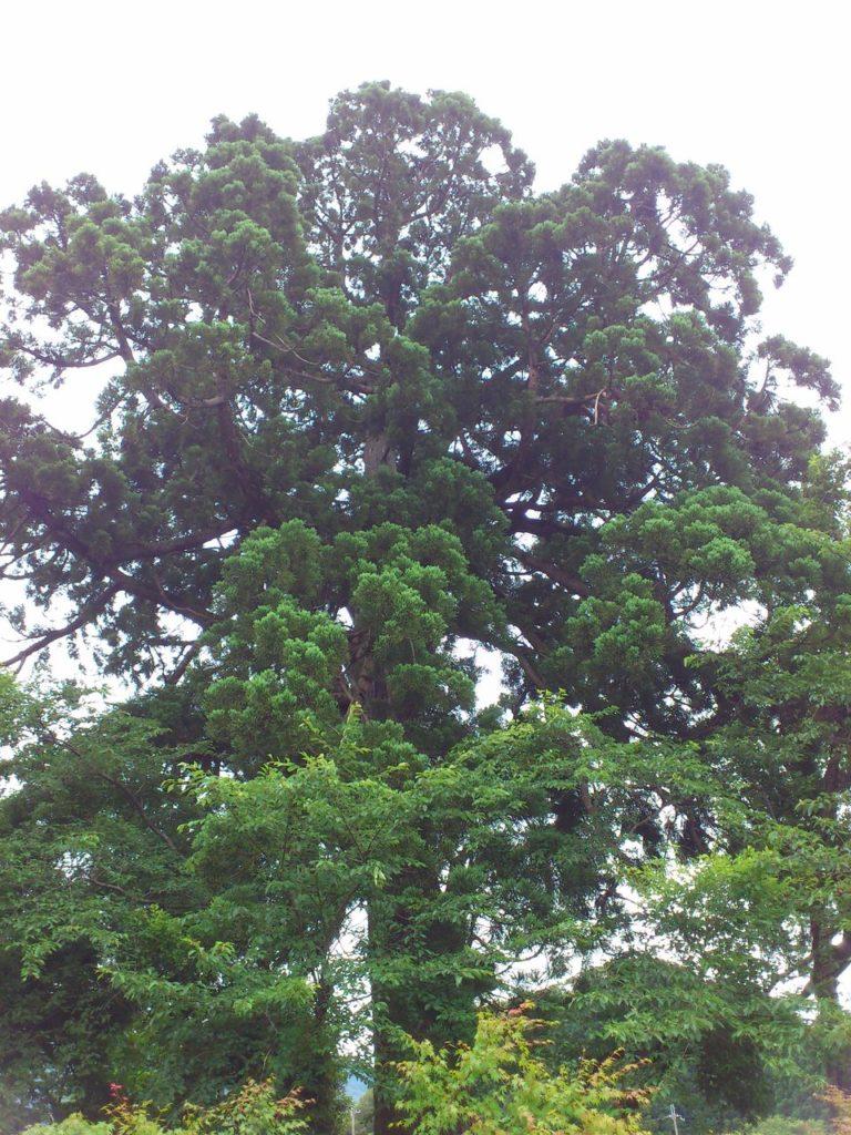 スギの老木