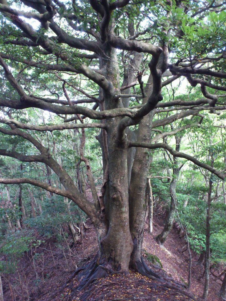 萌芽更新したブナの巨木