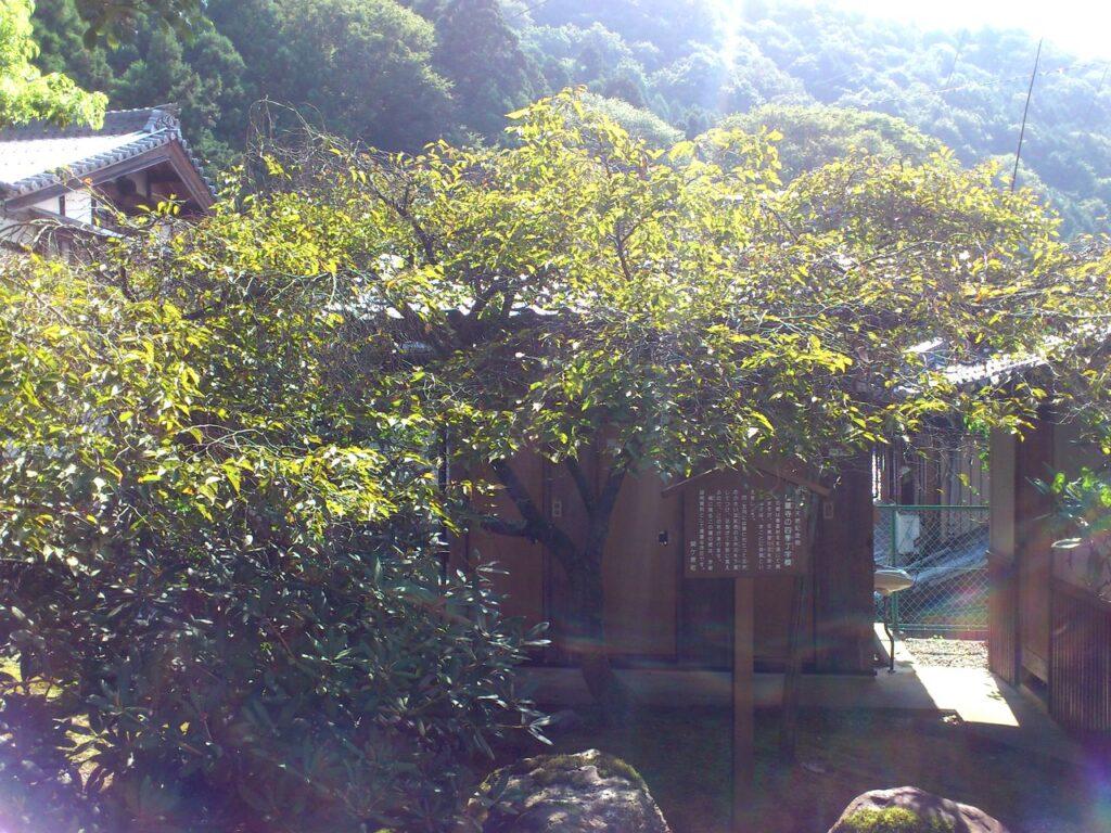 聖蓮寺の四季丁字桜